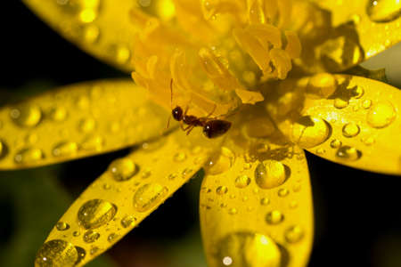 Petals of a yellow flower with dew drops Stock Photo