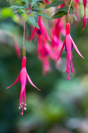 flores fucsia: Flores rosadas y púrpuras fucsia o Fuchsia magellanica