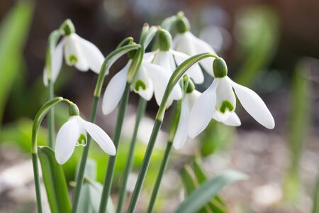 galanthus: Galanthus nivalis, known as snowdrop