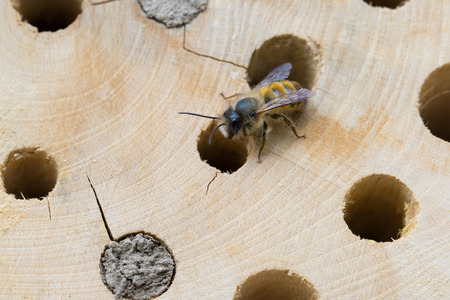 Osmia Cornuta, a specie of solitary bees, on a wooden nesting site. Stock Photo