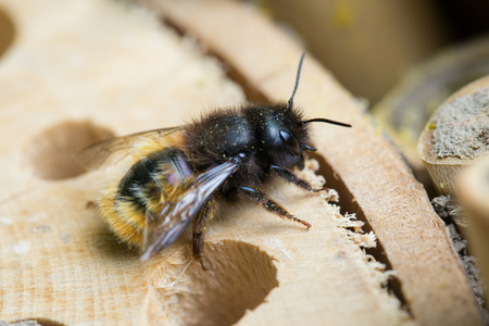 nesting: Osmia Cornuta, a specie of solitary bees, on a wooden nesting site. Stock Photo
