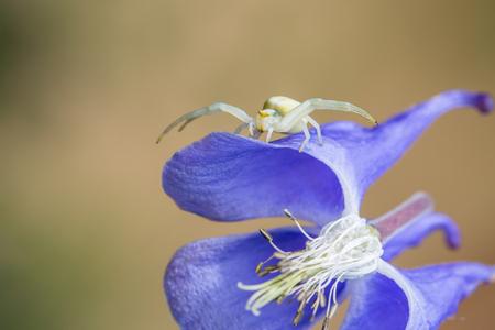 Macro of a Misumena vatia, or crab spider, ambush hunting on a flower. Stock Photo