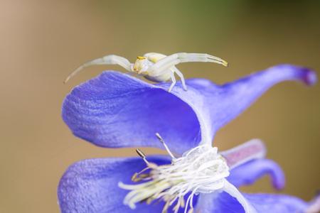 Closeup of a Misumena vatia, or crab spider, ambush hunting on a flower.