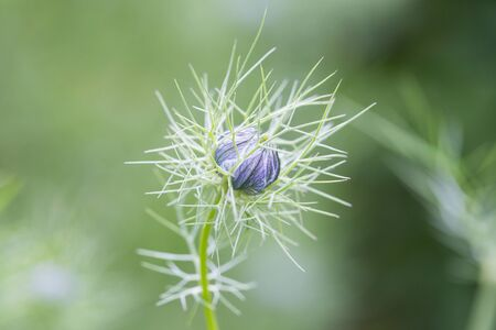 sativa: closeup of a nigella sativa bud, known as black cumin or black caraway, with shallow depth of field. Stock Photo