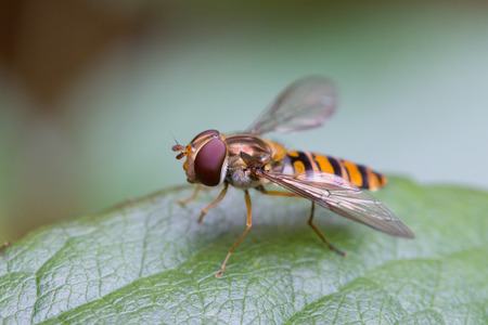 Closeup of a hoverfly, or syrphid fly (Syrphidae family) on a green leaf. Stock Photo