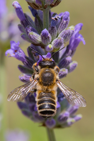 Closeup of a bee pollinating lavender flowers.