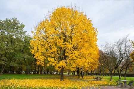 Maple tree turning yellow in autumn in a public park. Stock Photo