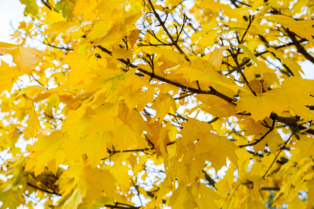 Yellow colored leaves on a maple tree in autumn.