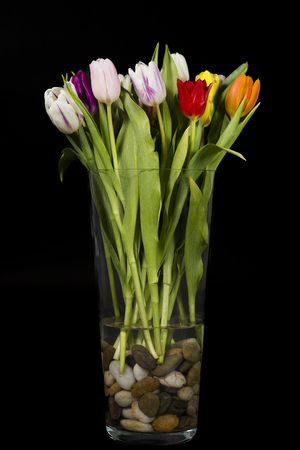 Bouquet of colorful tulips in a glass vase filled with river stones, on black background.