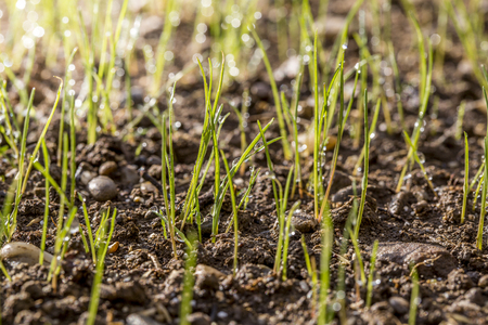 Lawn sprouts with morning dew in a freshly seeded garden. Stock Photo - 76504752
