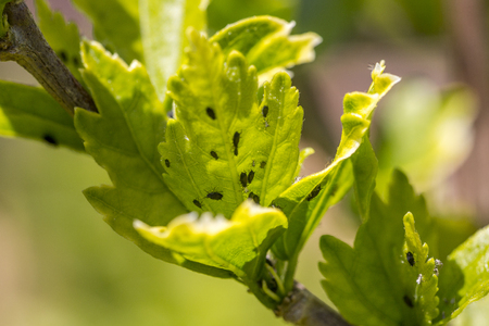 Aphids colony on leaf bud