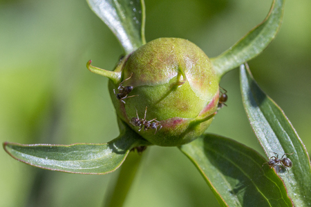 secreted: Macro of ants collecting the sweet nectar secreted by peony buds.