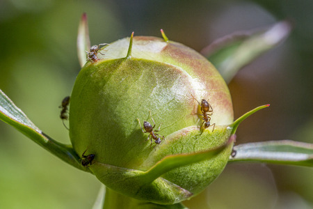 Macro of ants collecting the sweet nectar secreted by peony buds.