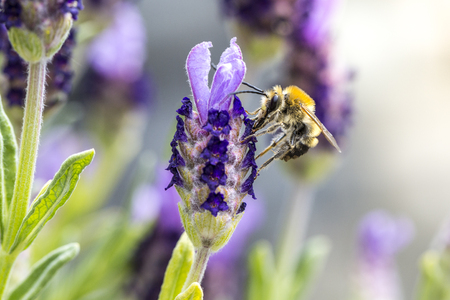 Macro of a bee pollinating lavender flowers