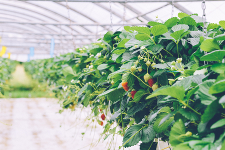 Greenhouse soilless cultivation of strawberries Stock Photo