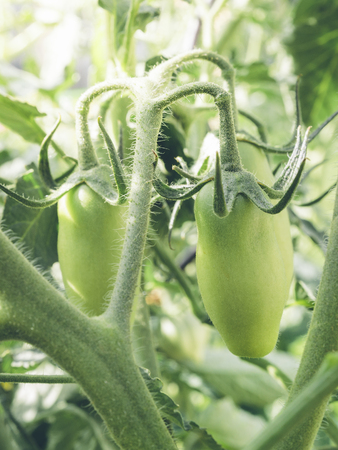 San Marzano tomatoes, unripe and with sun flare in the background. Stock Photo - 81933997