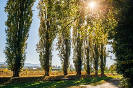 Pappelbäume, die im Herbst gelb werden. Standard-Bild - 88643523