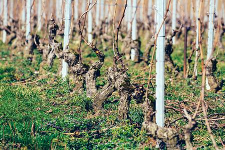 Grape vines freshly pruned in a vineyard. Stock Photo