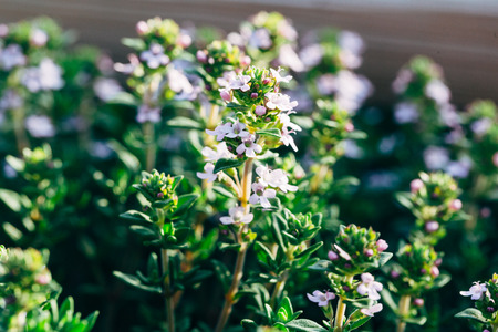 Closeup of blooming thyme herbs