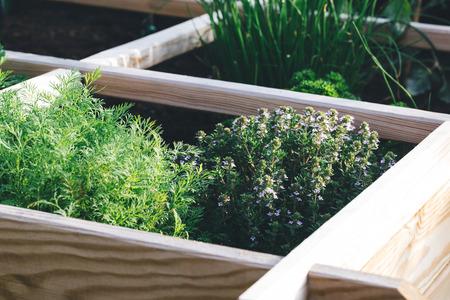 Aromatische Kräuter, Dill, Thymian, Petersilie und Schnittlauch in einem Hochbeetgarten.