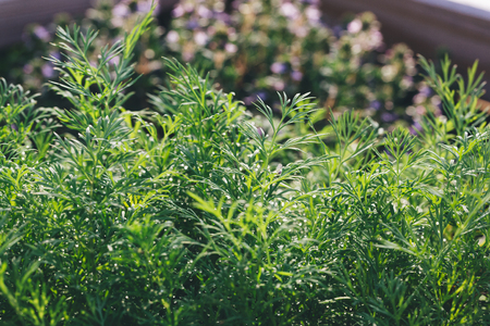 close up of fragrant dill plants in a garden under de morning sun. Stock Photo
