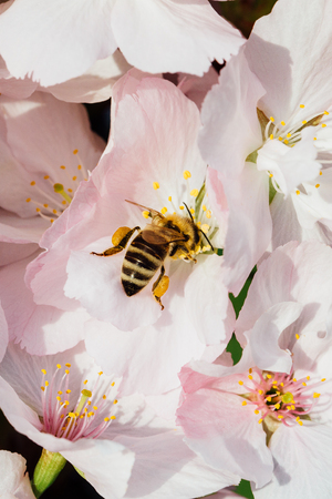Close up of a bee pollinating cherry tree flowers