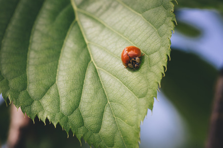 Red ladybug on a green raspberry leaf. Stock Photo