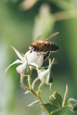 Close up of a bee pollinating raspberry flowers.