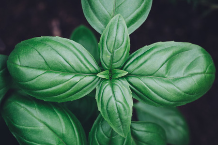 Basil plant close up view from above Stock Photo