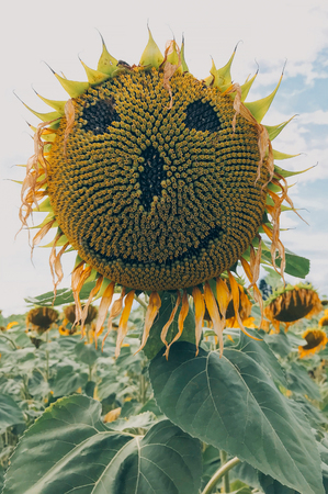 Sunflower with a hand carved smiling face. Stock Photo