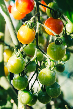 Close up of red, orange and green cherry tomatoes on a tomato plant.
