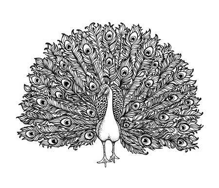 details: Vector Beautiful Hand drawn Ornament Peacock bird consist many details.
