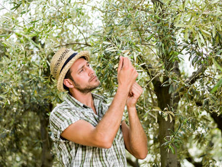 is cultivated: farmer is harvesting olives