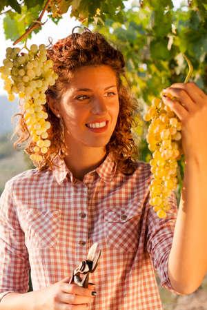 woman harvesting grapes under sunset light  photo