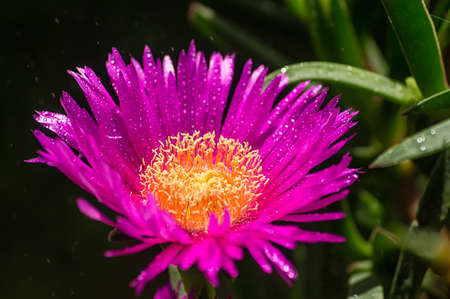 Hottentot fig flower in the rain