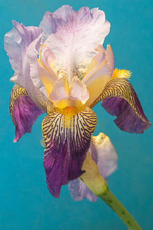 A single Siberian Iris with blades of leaves on a soft light blu background
