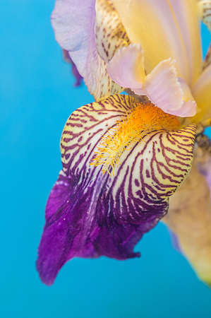 A detail of Siberian Iris with blades of leaves on a soft light blu background Stock Photo