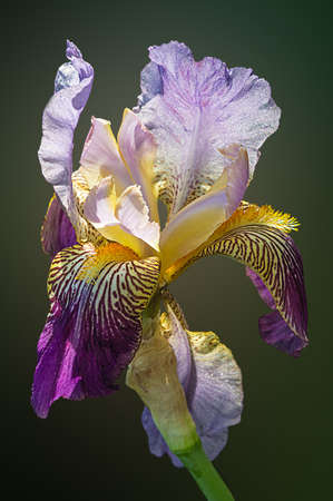 purple iris: A single Siberian Iris with blades of leaves on a soft green background Stock Photo