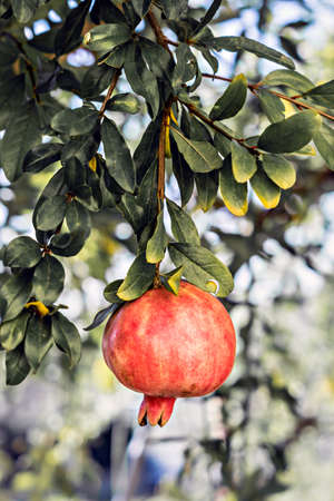 branch of pomegranate on gradient background Stock Photo