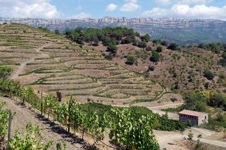 Viñedo orgánico en el Priorat también conocido como Priorato, cerca de Poboleda, provincia de Tarragona, Cataluña, España