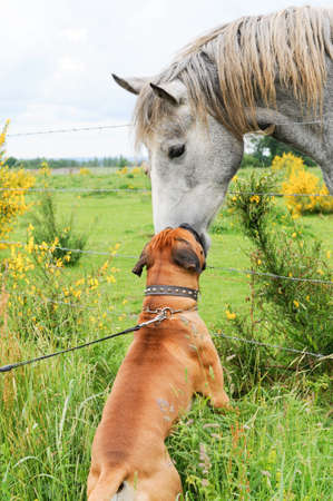 Boxer dog on a leash making friends with a horse in the countryside