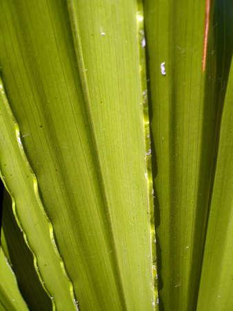 florish: Yuka plant  spike green leaves close up