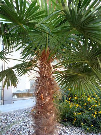 Una pequeña palmera en un jardín con flores y piedras Foto de archivo - 1868106
