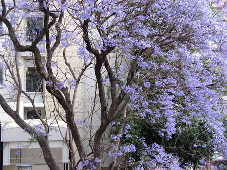 florish: A big tree with purple light flowers in front of a building