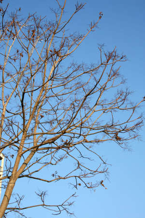 florish: A tree without leaves under the blue sky Stock Photo