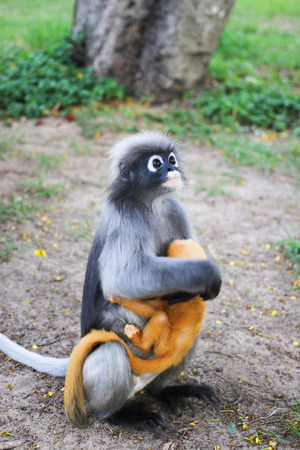 closer: Lemur which relies on the tree and closer to people. Stock Photo