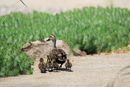 web footed: Spot-billed Duck parent and children