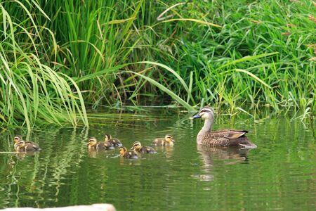 bird web footed: Spot-billed Duck parent and children