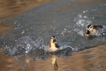 bird web footed: Spot-billed Duck
