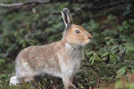 varying: Mountain hare Lepus timidus ainu Stock Photo